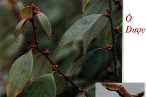 Tác dụng lợi tiêu hóa, chữa tiểu đêm bất ngờ của cây ô dược