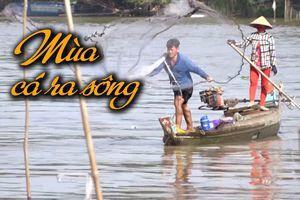Những ngày tháng ấm no với thuyền đầy cá trong mùa lũ đẹp miền Tây