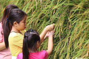 Hà Nội: Nhiều em nhỏ bất ngờ khi lần đầu nhìn thấy cây lúa ở ngay Hồ Gươm