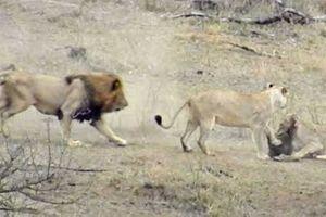Clip: Sư tử đực cứu sống lợn rừng theo cách 'siêu' khó tin