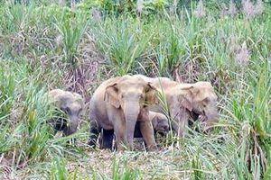Nghệ An: Đàn voi rừng lại xuất hiện phá hoa màu ở khu dân cư