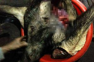Lợn rừng tấn công, húc trúng bụng, người đàn ông trọng thương