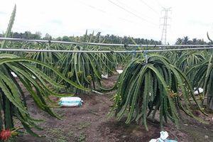 Tiền Giang: Ô nhiễm nghiêm trọng từ các vườn cây thanh long