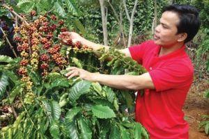 Giá nông sản hôm nay 6/11: Giá cà phê giảm mạnh 1.000 đồng, giá tiêu không đổi