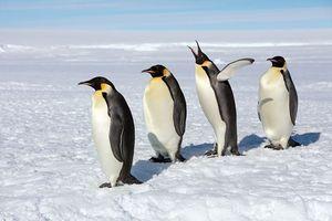 Ấn tượng cảnh chim cánh cụt hoàng đế 'xâm chiếm' cả Nam Cực