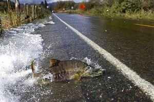 Kỳ lạ đàn cá hồi băng qua đường nhựa ngay trước mũi ô tô