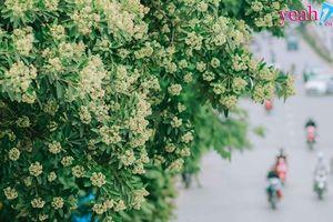 Hà Nội vào thu, hoa sữa nở rộ khắp các con đường - CĐM không biết nên gọi là 'Nồng nàn Hà Nội' hay 'Nồng nặc Hà Nội