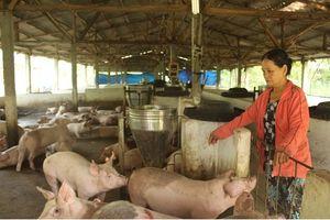 Đà Nẵng: Chủ động các biện pháp phòng chống bệnh dịch tả lợn Châu Phi