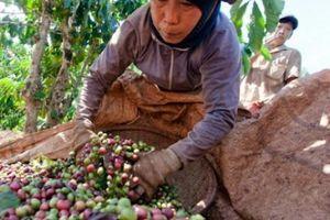 Giá nông sản hôm nay 7/11: Giá cà phê 'mất' tiếp 400 đồng, giá tiêu chật vật