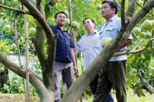 Nông dân xứ Tuyên bội thu bưởi đường