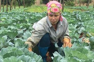 Ở nơi này, trồng bắp cải quanh năm, 3.000m2 lãi 150 triệu đồng