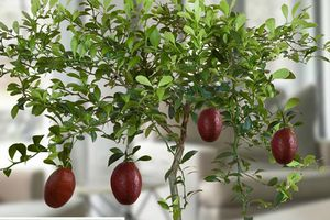 Mục sở thị giống chanh đỏ kỳ lạ 300.000 đồng/cây
