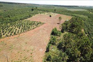 Vụ rừng nguyên liệu giấy ở Lâm Đồng 'biến mất': Sẽ giải tỏa cây trồng trái phép