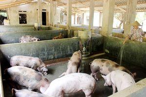 Lào Cai: Chủ động ngăn ngừa dịch tả lợn Châu phi