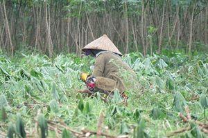 Phú Yên: Bệnh khảm lá trên cây sắn tiếp tục gây hại cho nông dân