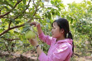 9X khởi nghiệp từ trồng ổi Đài Loan