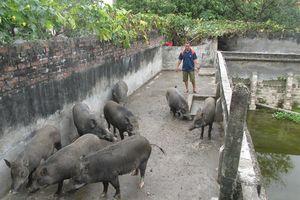Nuôi lợn rừng, ba ba xanh vừa nhàn lại không quá lo đầu ra