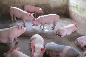 Giá heo hơi hôm nay 8/11: Giá lợn hơi giảm, tư thương vẫn 'hét giá' trên trời