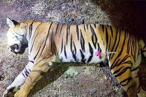 Phản đối dữ dội việc giết hổ ăn thịt 13 người