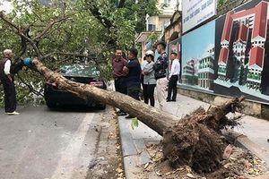 Hà Nội: Cây lớn bật gốc đổ ập xuống ô tô đỗ ven đường