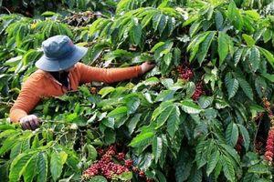 Tây Nguyên: Mạnh tay dẹp nạn 'bảo kê', ép giá thu mua nông sản