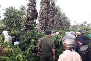 Đắk Lắk: Điều tra vụ hơn 700 trụ tiêu của hai hộ dân bị hủy hoại