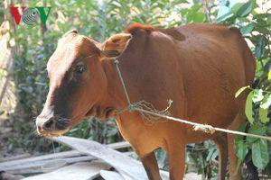 Bò giống vừa cấp cho hộ nghèo đã bị lở mồm long móng