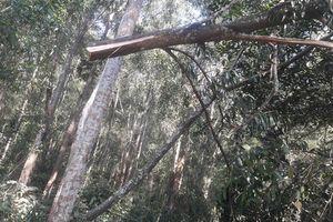 Vì sao tình trạng phá rừng đặc dụng Hàm Rồng tái diễn?