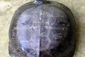 Lạ: Mua 'cụ rùa' phóng sanh, bất ngờ thấy trên mai có chữ 'Quý Tỵ'