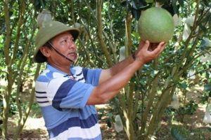 Bác sỹ quân y về làm nông mới thành tỷ phú nhờ trồng bưởi da xanh