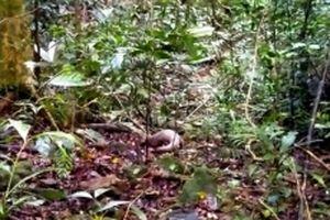 Thả cá thể tê tê quý hiếm về Vườn quốc gia Bạch Mã