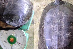Phát hiện rùa lạ có khắc chữ 'quý tỵ' trên mai