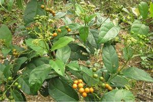 Khám phá bất ngờ về loài cây xạ đen quý giá ở VN