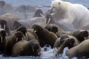 Clip: Cái kết 'thê thảm' giành cho gấu Bắc Cực phàm ăn
