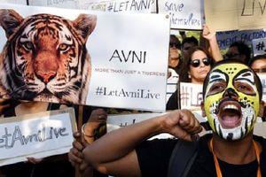 Hổ dữ ăn thịt người vùng Pandharkawad bị bắn hạ