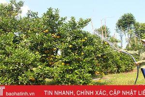 Nổi tiếng sau lễ hội cam, diện tích cam giòn Thượng Lộc tăng 10 lần