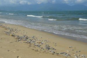 Cá chết dạt trắng bờ biển Đà Nẵng