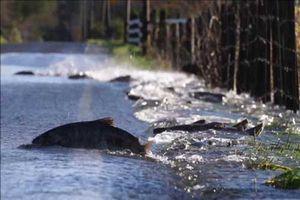 Clip: Đàn cá hồi băng qua quốc lộ tìm bạn tình