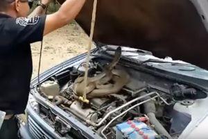 Clip: Bắt sống rắn hổ mang dài 4,5 mét nằm trong nắp ca-pô xe hơi