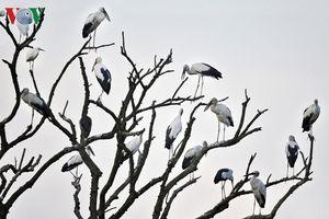 Mãn nhãn với hình ảnh đàn cò chao lượn trên những rặng tre xanh