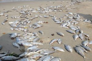 Cá chết dạt vào bãi biển Đà Nẵng: Không có hiện tượng nước xả thải gây ô nhiễm