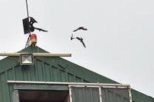 Cấm nuôi chim yến ở nội đô?
