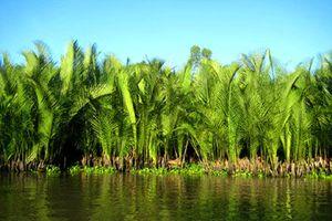 Cây dừa nước ven sông…