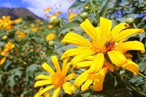 Hòa cùng lễ hội hoa dã quỳ nơi núi lửa Chư Đăng Ya