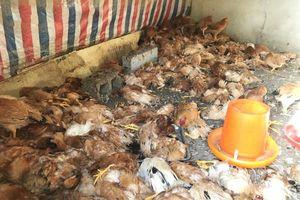 Chó Husky cắn chết 600 con gà nhà hàng xóm trong một đêm