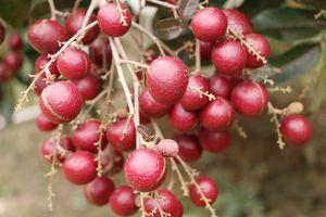 Những trái cây độc, lạ hút khách của miền Tây