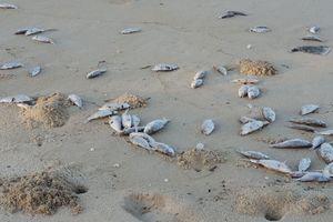 Cá chết dạt vào bờ biển Đà Nẵng có thể là cá nuôi lồng bè