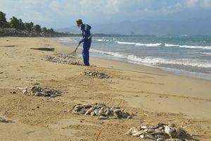 Đà Nẵng: Cá chết dạt vào bờ chủ yếu là cá mòi