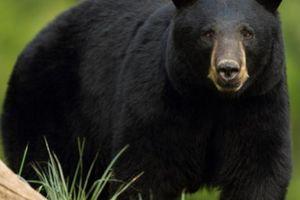 Đấm vào mũi gấu đen, người đàn ông Mỹ nhận kết cục đau đớn