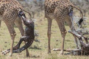 Hươu mẹ 'đẻ rơi' con giữa tự nhiên, chăm chút thế nào?
